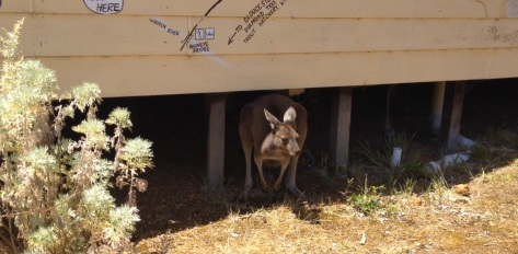Heard growling and out pops a kangaroo??